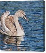 Mute Swan Cygnet Canvas Print