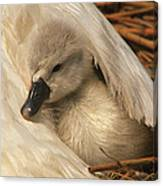 Mute Swan Cygnet Under Wing Canvas Print