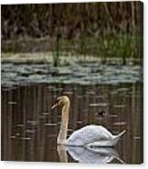 Mute Swan Pictures 143 Canvas Print