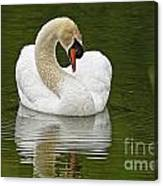 Mute Swan Pictures 191 Canvas Print