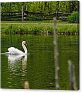 Mute Swan Pictures 195 Canvas Print