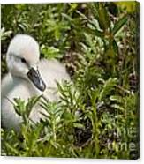 Mute Swan Pictures 210 Canvas Print