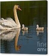 Mute Swan Pictures 244 Canvas Print