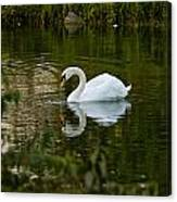 Mute Swan Pictures 85 Canvas Print
