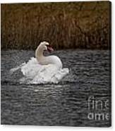 Mute Swan Pictures 97 Canvas Print