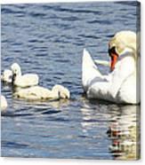 Mute Swans Canvas Print