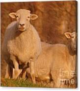 My Sheep ...   Canvas Print