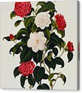 Myrtle Leaved Camellia Canvas Print