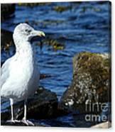 Mystic Seagull Canvas Print