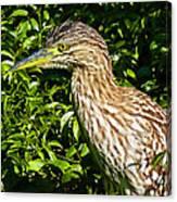 Nankeen Night Heron Canvas Print