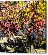 Napa Fall Grapes Canvas Print