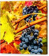 Napa Valley Grapes, California Canvas Print