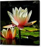 Napa Water Lilies 003 Canvas Print