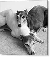 Napping Greyhounds Canvas Print