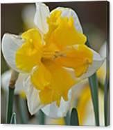 Narcissus 014-2 Canvas Print