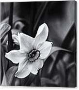 Narcissus In The Shadows Canvas Print