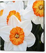 Narcissus Parkdene #2 Canvas Print