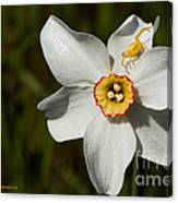 Narcissus Poeticus Canvas Print