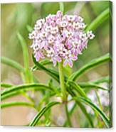 Narrowleaf Milkweed Canvas Print
