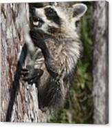 Nasty Raccoon In A Tree Canvas Print