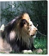National Zoo - Lion - 011318 Canvas Print