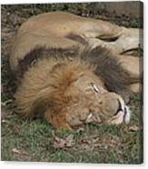 National Zoo - Lion - 12121 Canvas Print