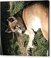 National Zoo - Mammal - 12124 Canvas Print