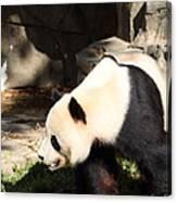 National Zoo - Panda - 011321 Canvas Print