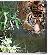 National Zoo - Tiger - 011310 Canvas Print