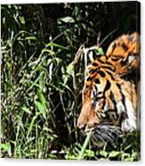 National Zoo - Tiger - 011311 Canvas Print
