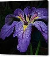Native Louisiana Iris Canvas Print