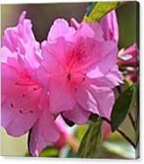 Native Roseshell Azalea Canvas Print