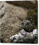 Natural Expression Of A Fowler Toad  Canvas Print