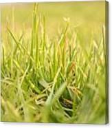 Natural Grass Canvas Print