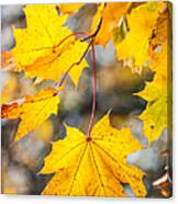 Natural Patchwork. Golden Mable Leaves Canvas Print