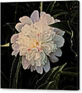 Natural Peony Canvas Print