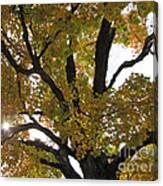 Natural Sunburst Through Autumn Tree Canvas Print