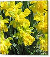 Naturalized Daffodils On The Farm Canvas Print