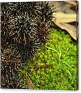 Nature's Moss And Sweetgum Pods Canvas Print