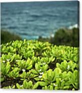 Naupaka Plant Canvas Print