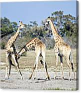 Necking Giraffes Botswana Canvas Print