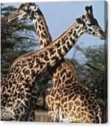 Necking Giraffes Canvas Print