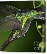 Nectar Feeding Hummingbird Canvas Print
