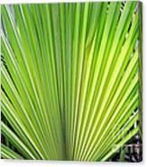 Needle Palm Canvas Print
