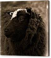 Nellah The Shetland Sheep  Canvas Print
