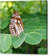 Neptis Hylas / Common Sailer Butterfly Canvas Print