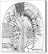 Nerve Cells, 1894 Canvas Print