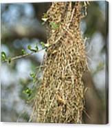 Nest Of Altamira Oriole Icterus Gularis Canvas Print