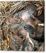 Nest Of American Robins Canvas Print