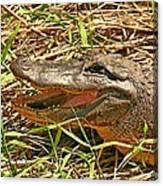 Nesting Alligator Canvas Print
